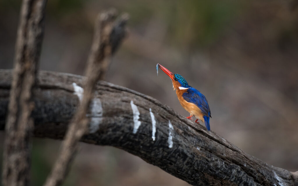 A kingfisher on a branch.