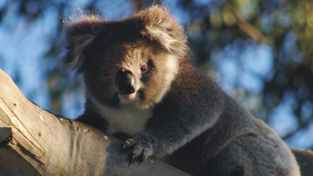 A koala at Bimbi Park in Australia.