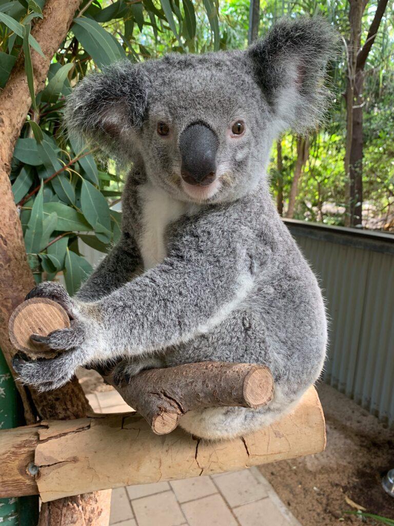 A koala at Bungalow Bay Koala Village.