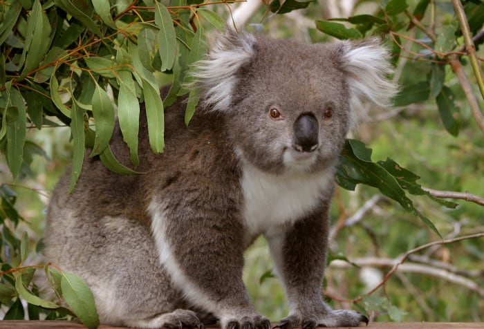 A koala at the Phillip Island Koala Reserve.