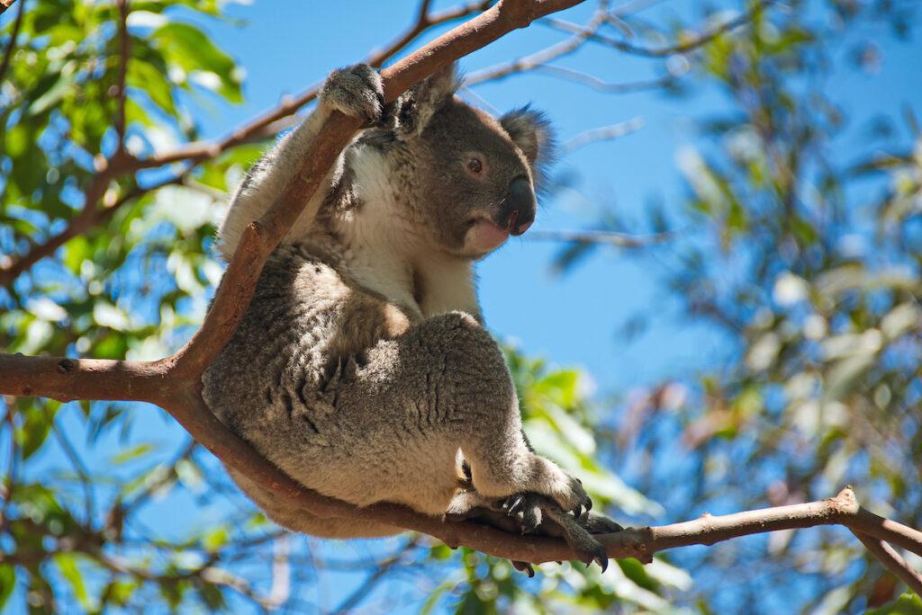 A koala at the Taronga Zoo in Sydney, Australia.