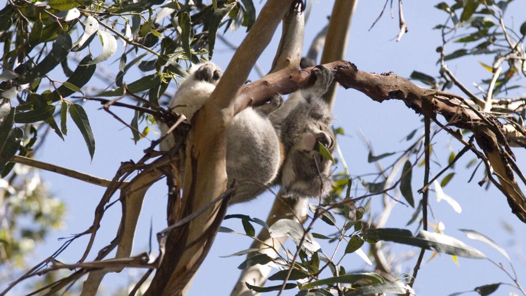 A koala in a tree at Kennett River.