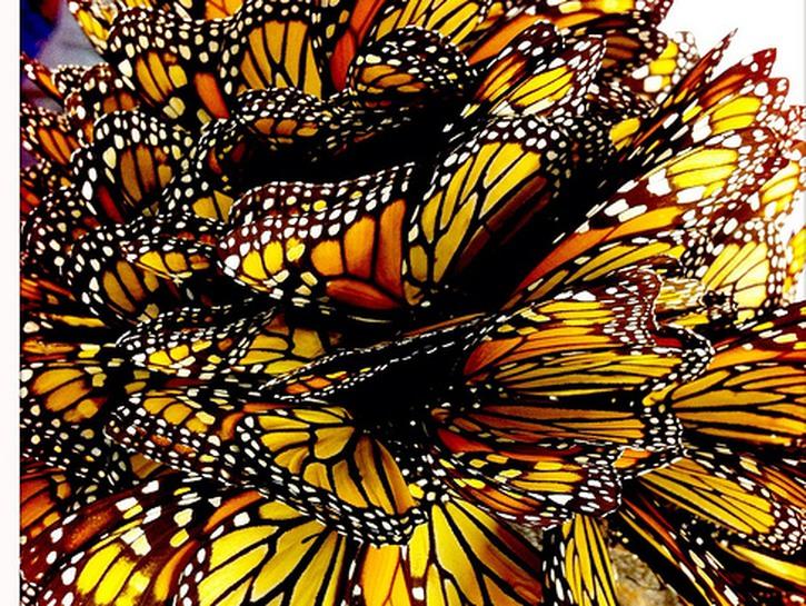 A large quantity of monarch butterflies