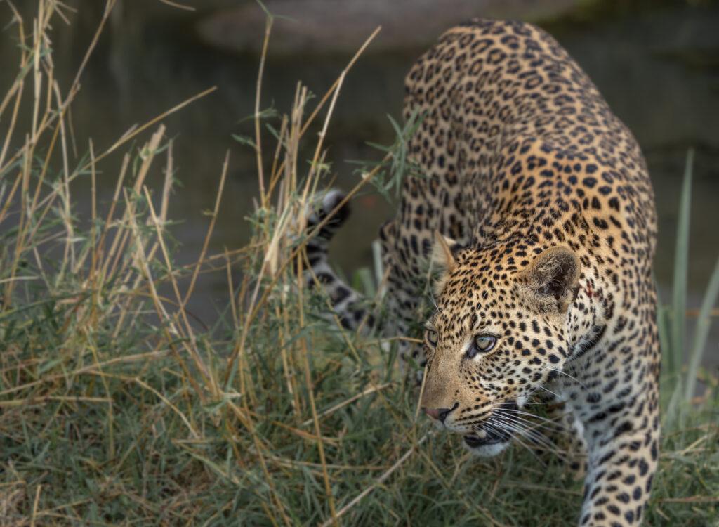 A leopard stalking its prey in Serengeti National Park.