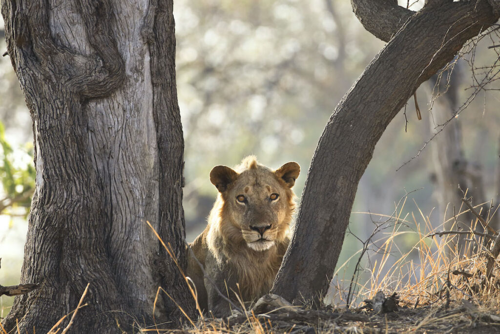 A lion at South Luangwa National Park in Zambia.