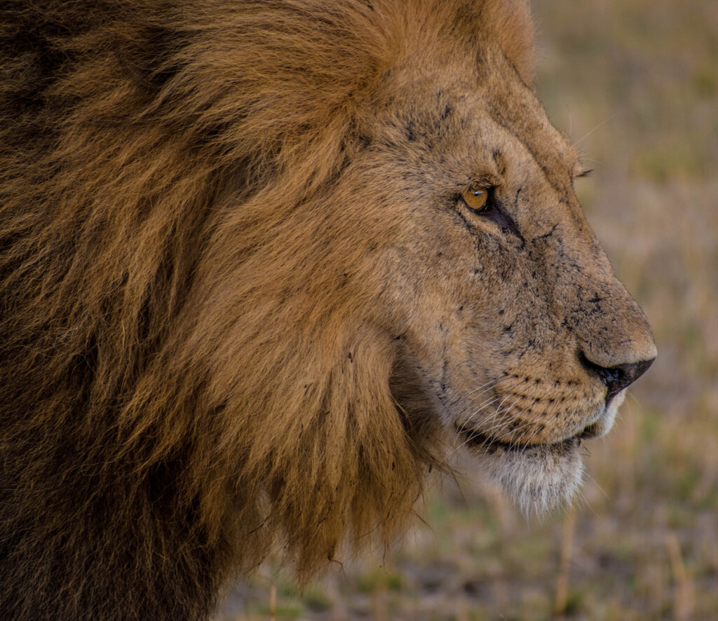 A lion in Tanzania.