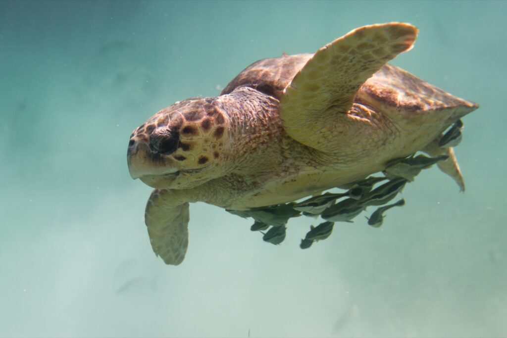 A loggerhead turtle in the Belize Barrier Reef.