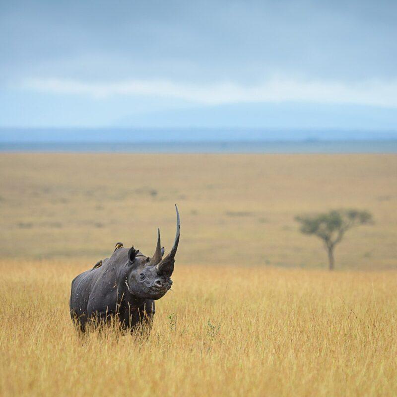 A lone black rhino.