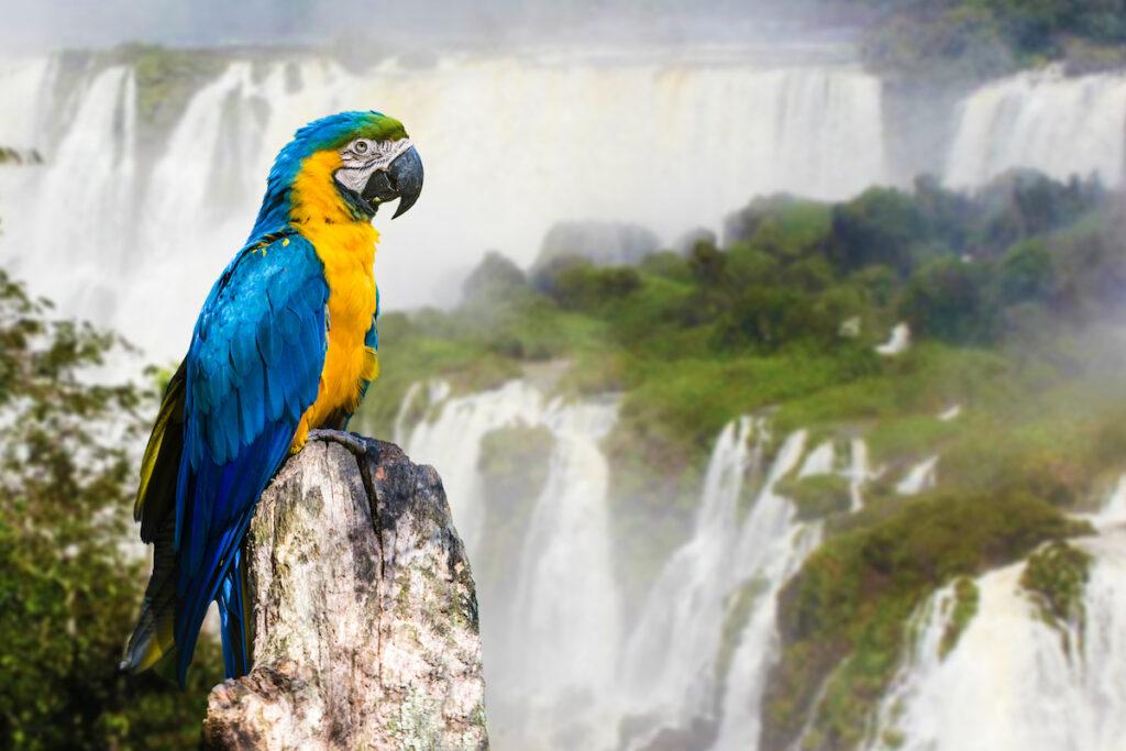 A macaw at Iguazu Falls.