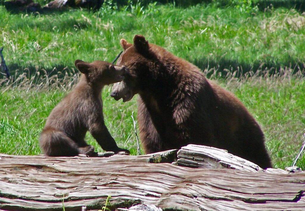 A mama and baby bear.