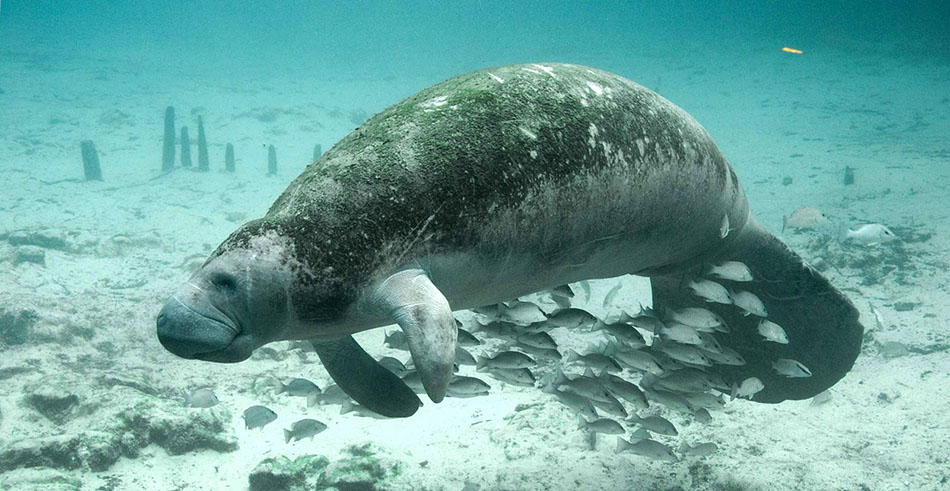 A manatee at Lovers Key State Park.