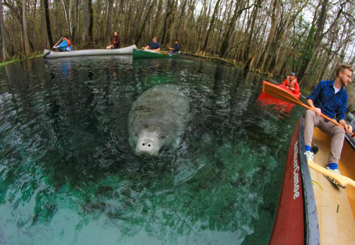 A manatee at Manatee Springs State Park.