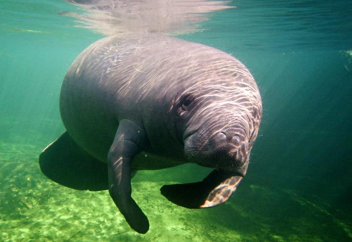 A manatee in Blue Spring State Park.