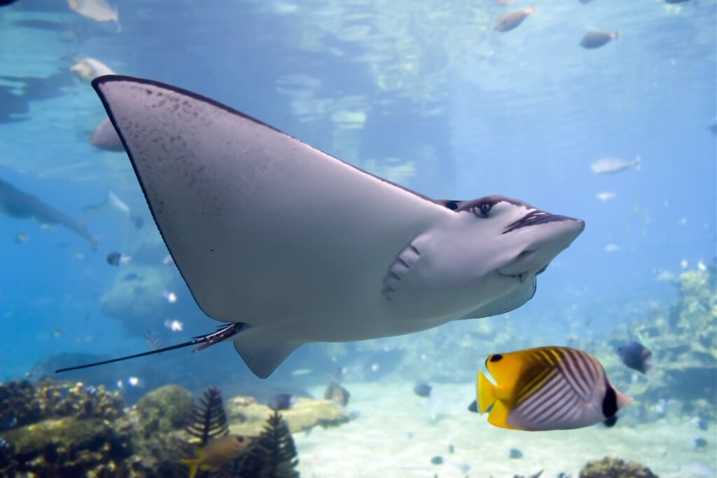 A manta ray underwater at the Great Barrier Reef.