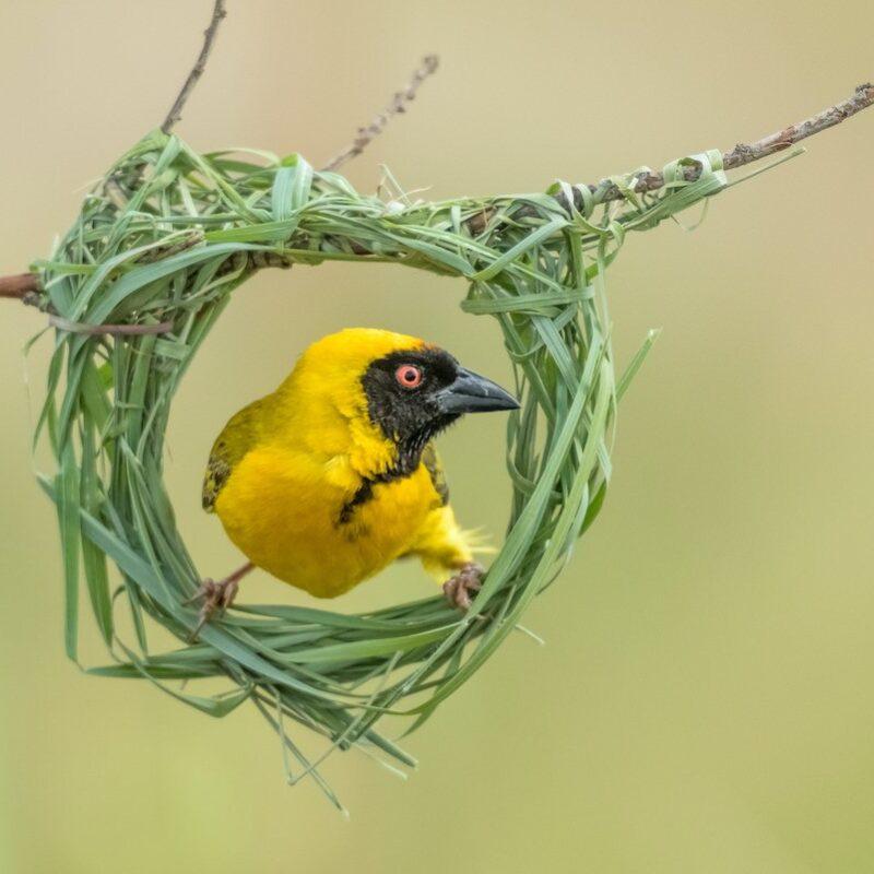 A masked weaver bird in its nest.