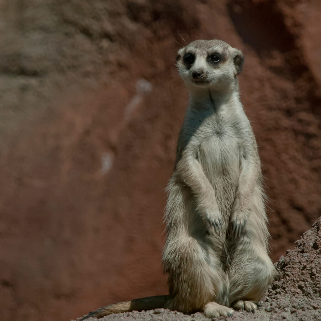 A meerkat at the Point Defiance Zoo and Aquarium.