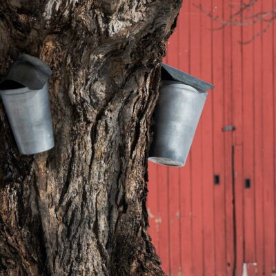 A metal bucket collecting a maple tree's sap.
