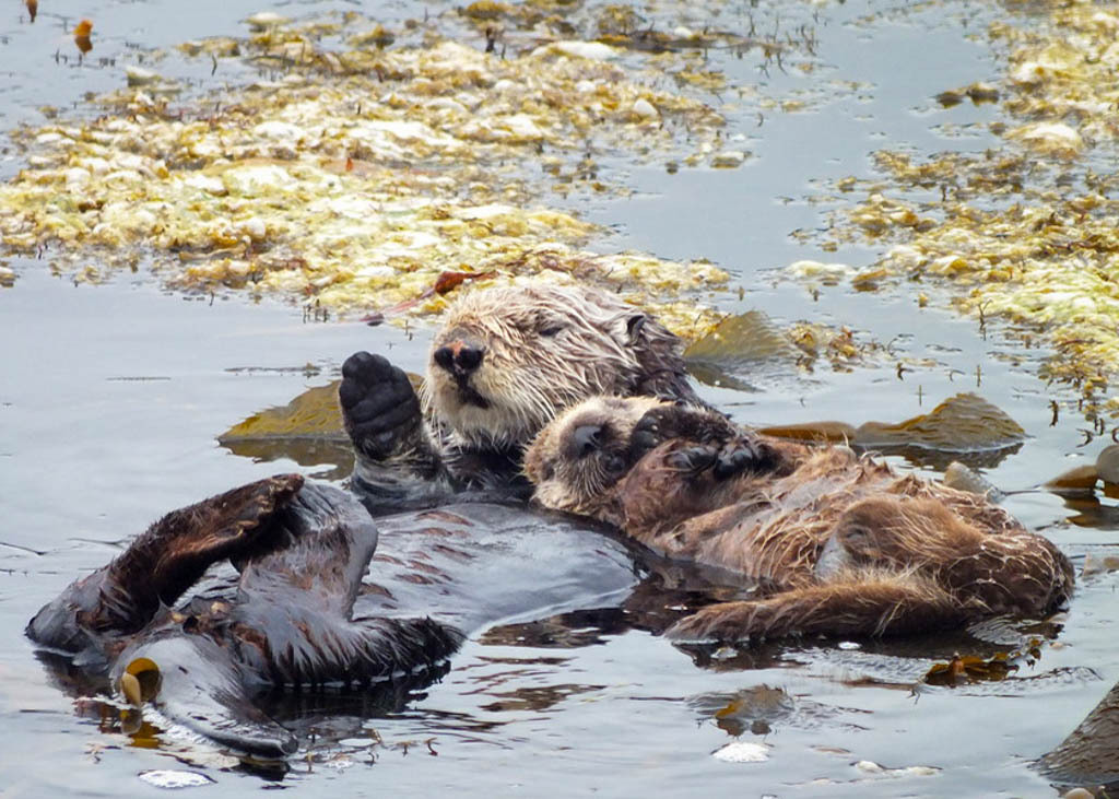 A momma sea otter and her pup.