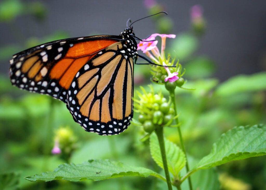 A monarch butterfly in Alabama.