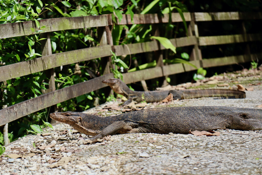 A monitor lizard in the Sungei Buloh Wetland Nature Reserve.