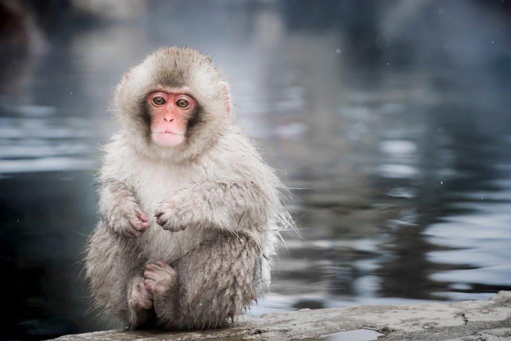 A monkey at Jigokundani Yaen-Koen.
