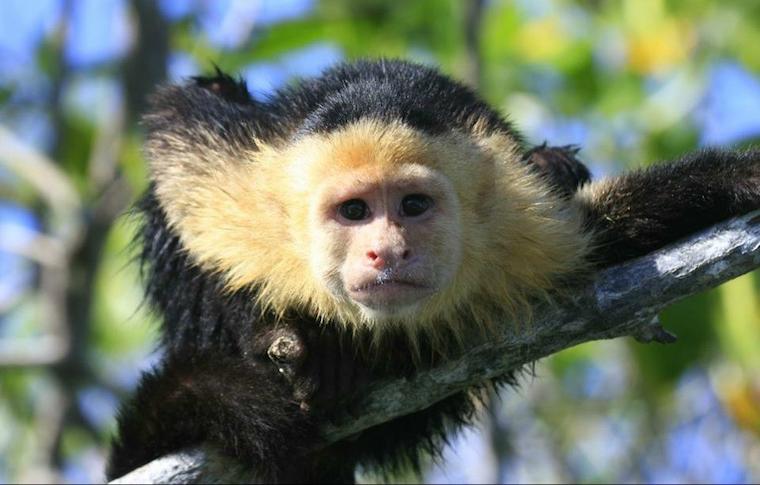 A monkey in Manuel Antonio National Park.