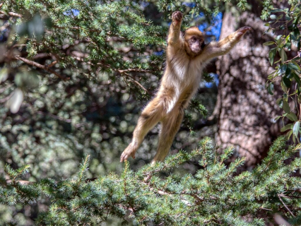 A monkey in the Cedre Gourad Forest in Azrou.