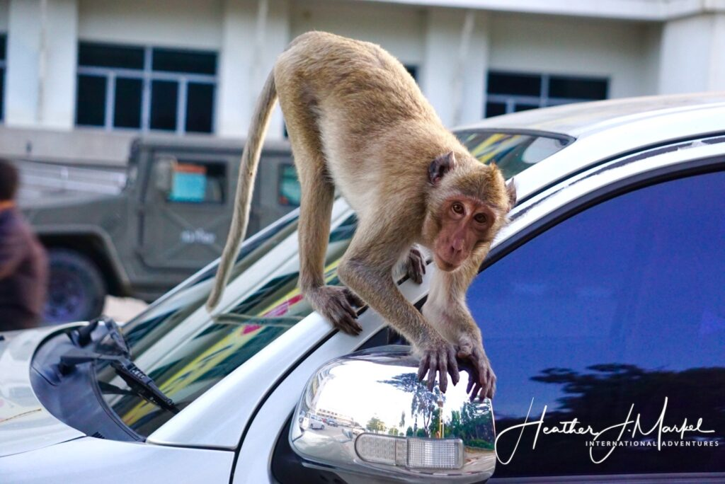 A monkey trying to steal a side mirror from a car.