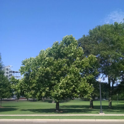 A Moon Tree planted at Mississippi State University.