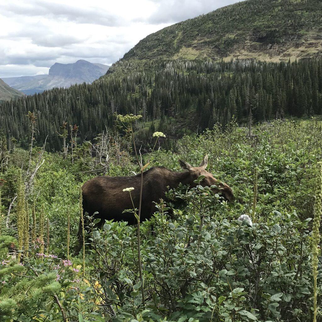 A moose in Glacier National Park.