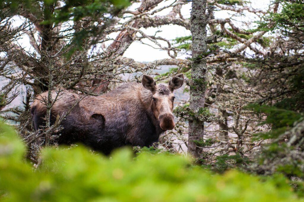 A moose in the wilderness of Nova Scotia.