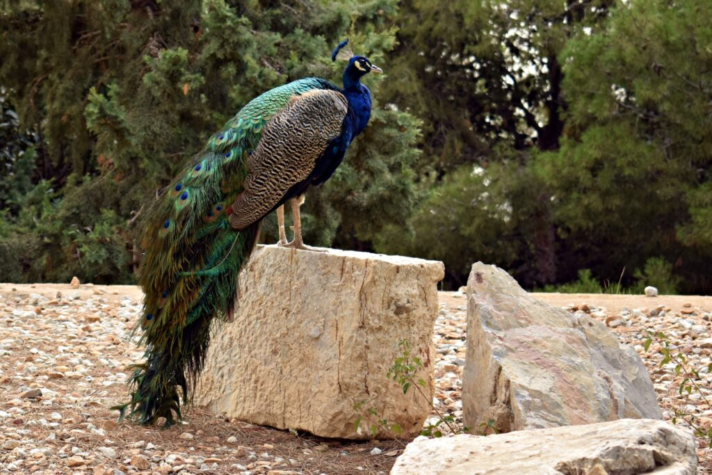 A peacock in Cartagena, Spain.