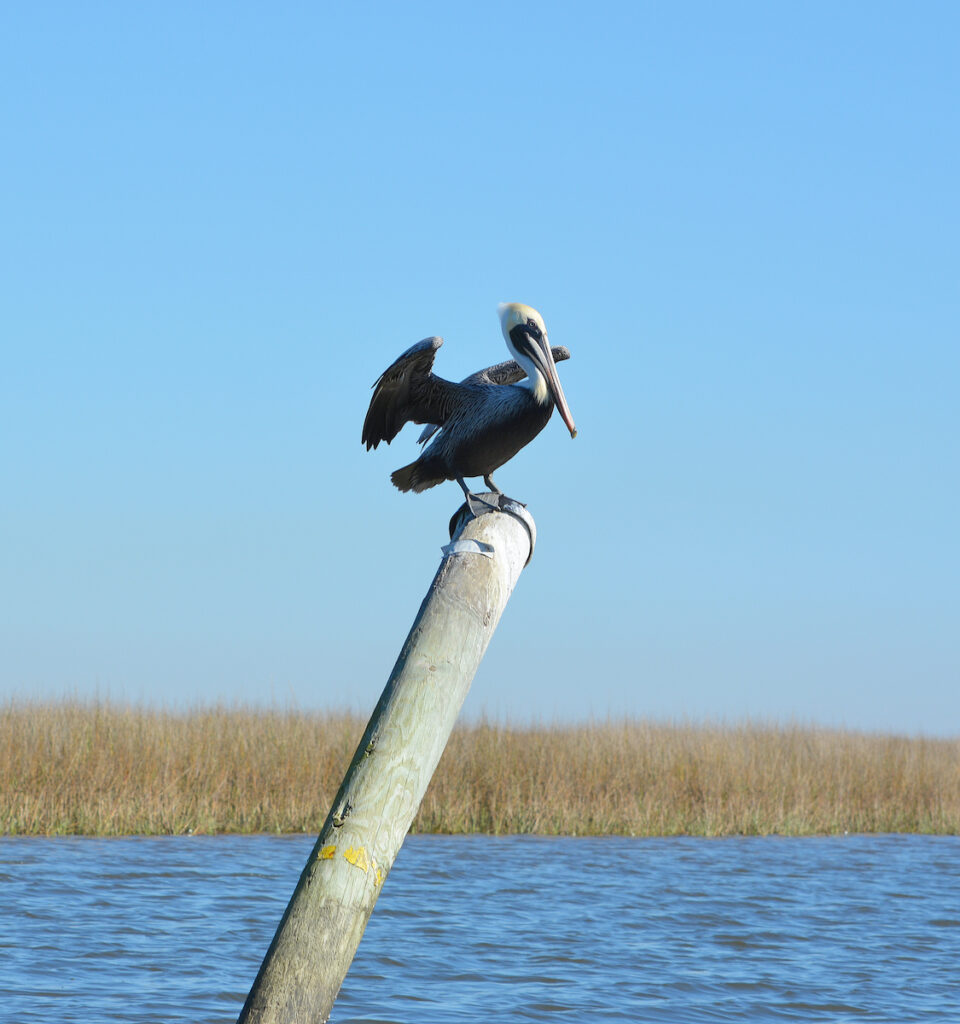 A pelican in Pascagoula.