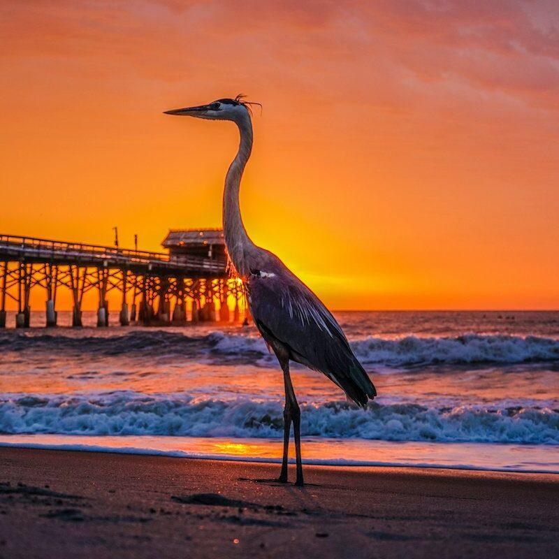 A pelican near the Cocoa Beach Pier in Florida.