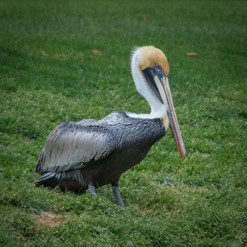 A pelican on Kiawah Island in South Carolina.