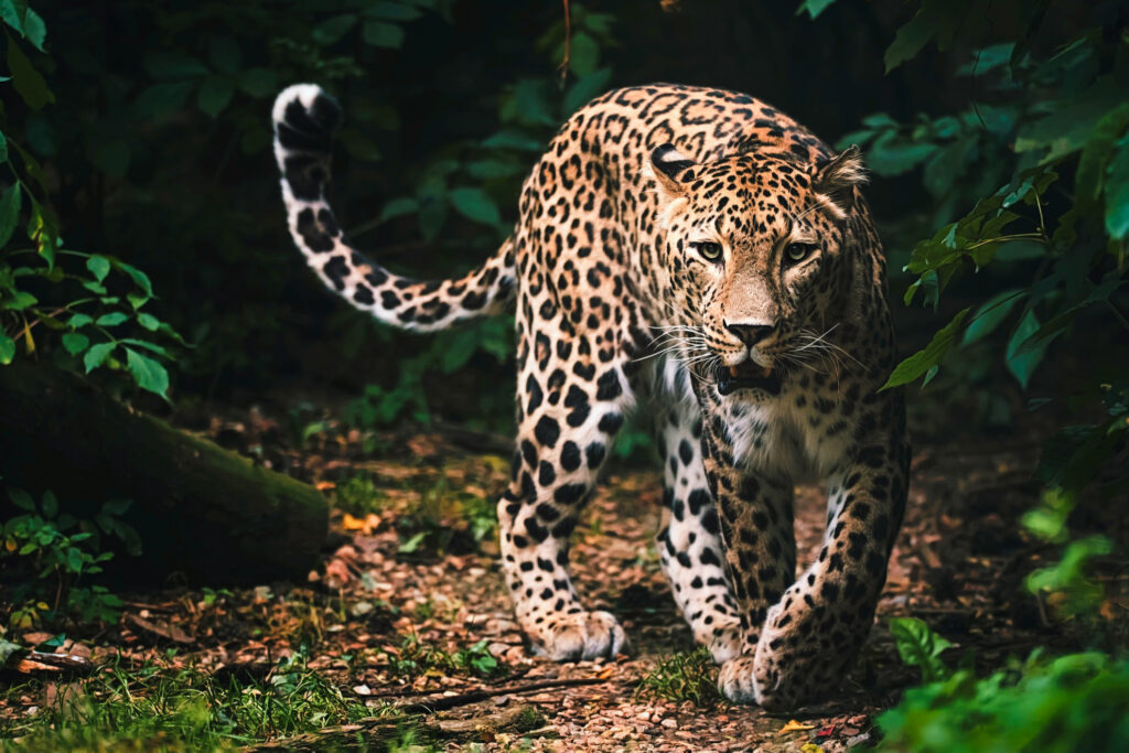 A Persian leopard in the wild.