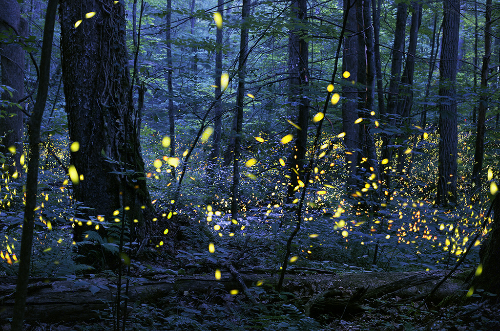 A photo of the synchronous fireflies in the Smoky Mountains