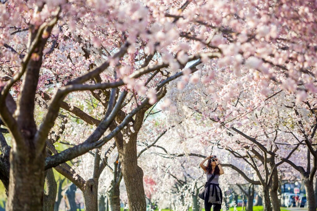 A photographer at the National Cherry Blossom Festival.