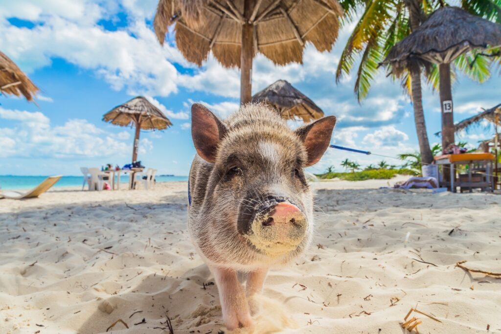 A pig on the beach in the Bahamas.