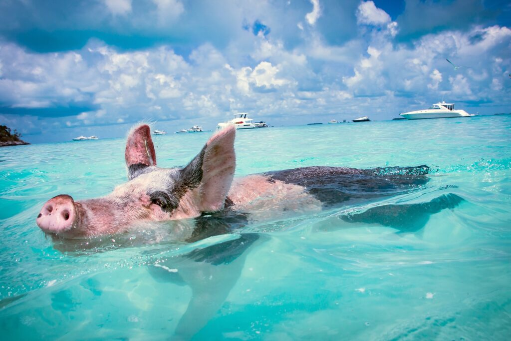 A pig swimming in the Bahamas.