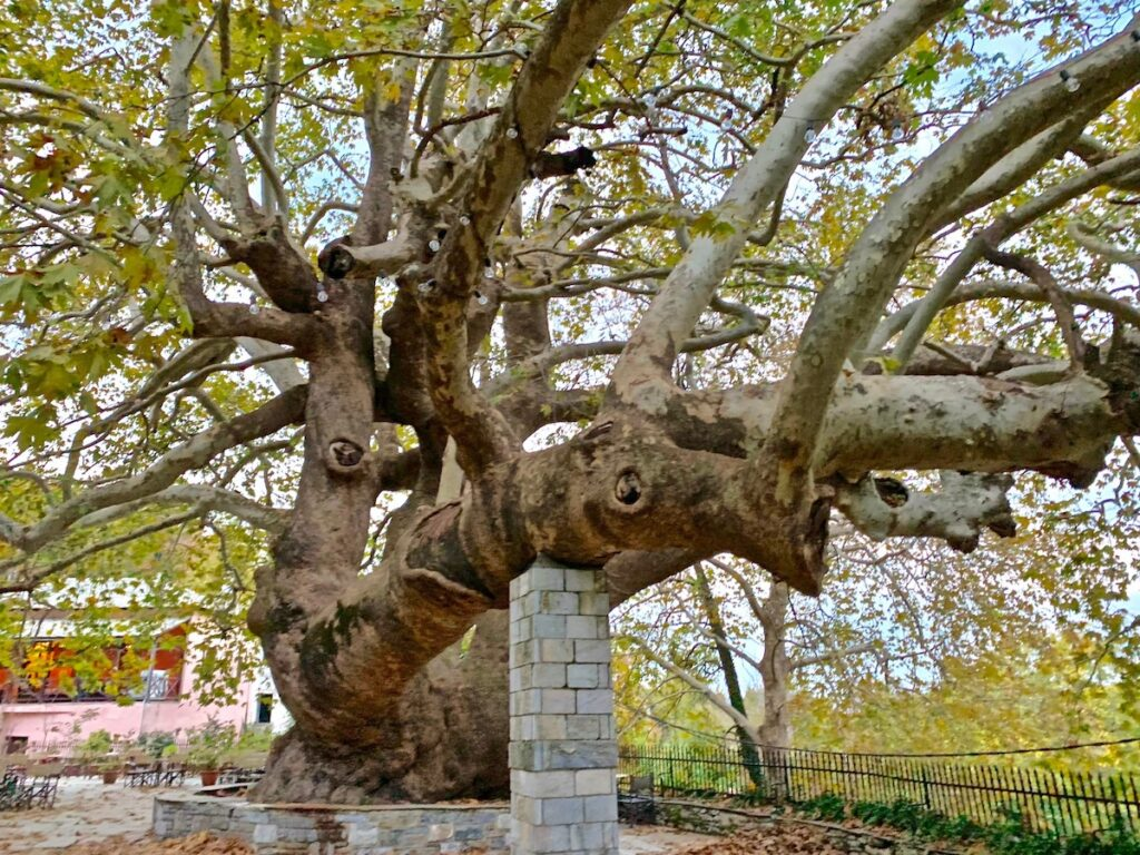 A Plane tree in northern Greece.