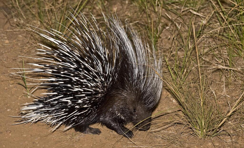 A porcupine roaming at night.