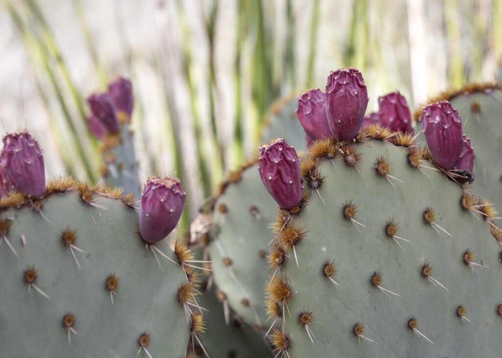 A prickly pear cactus with red buds at the Desert Botanical Garden.