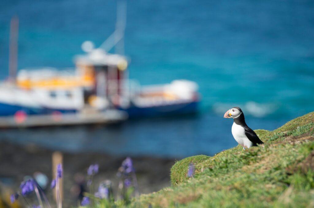 A puffin on the isle of Staffa in Scotland.