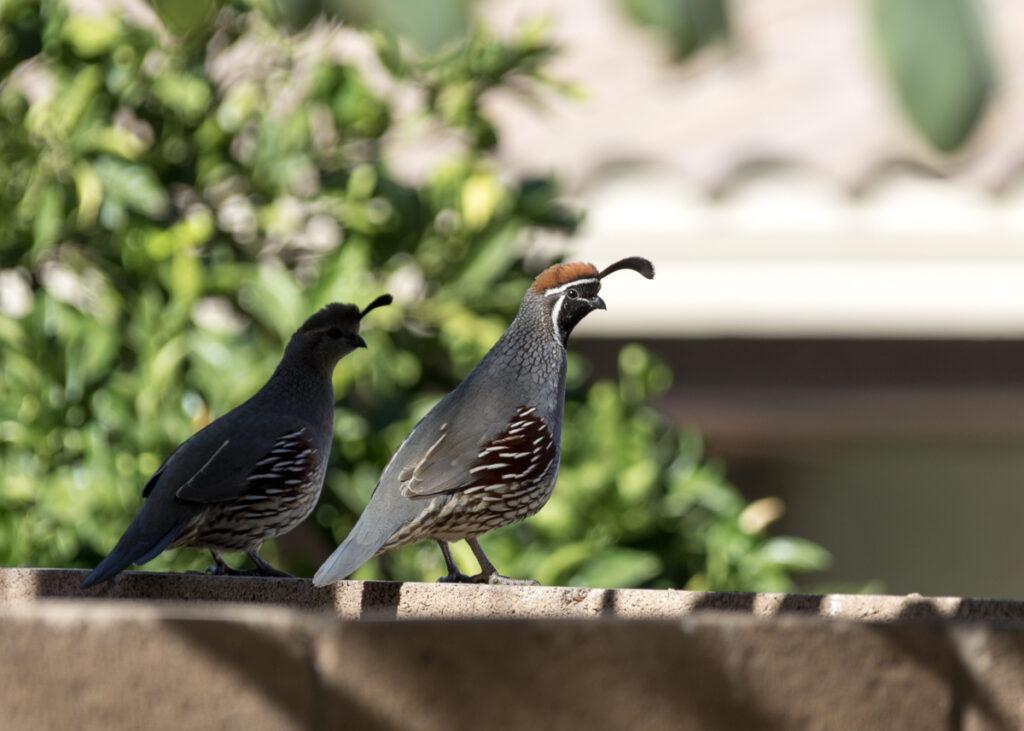 A quail in Phoenix, Arizona.
