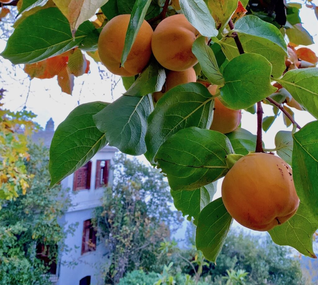 A quince tree growing in northern Greece.