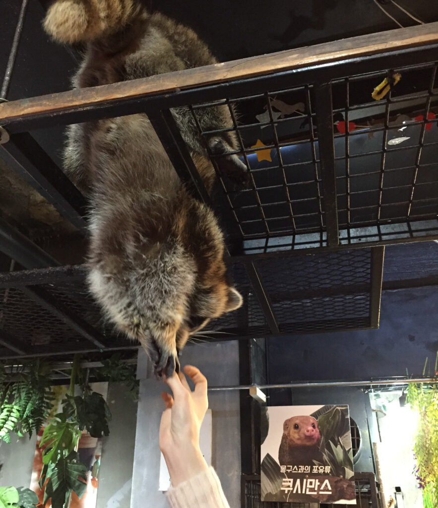 A raccoon at Table A cafe in Seoul.