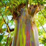 A rainbow eucalyptus tree in Kauai, Hawaii.