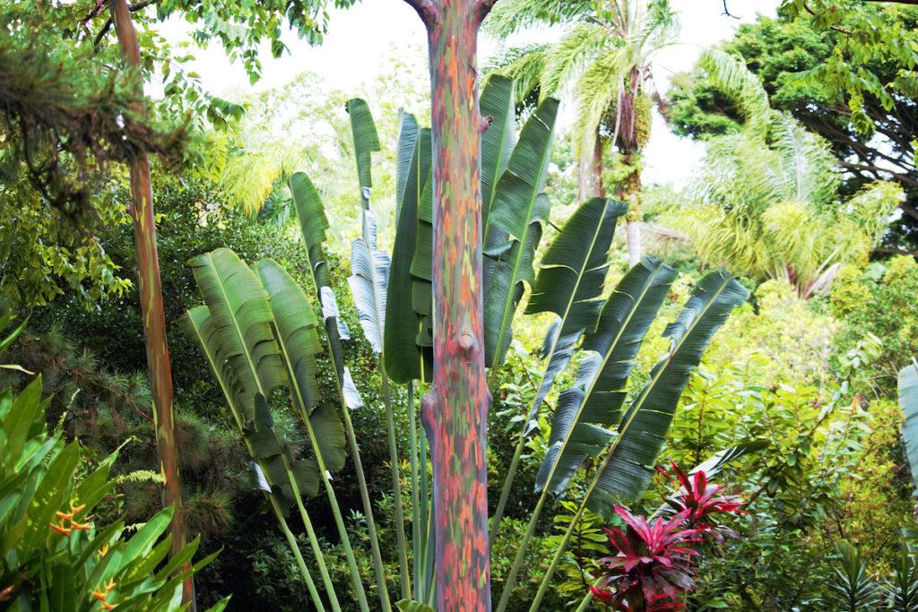 A rainbow eucalyptus tree in Hawaii.