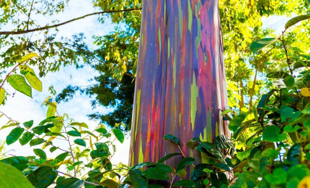 A rainbow eucalyptus tree in Kauai, Hawaii.